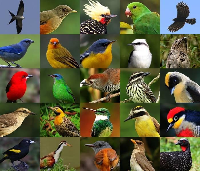 Birdwatching por Renato Paiva - PE Intervales - Ribeirão Grande - SP